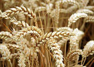 Ενδιαφέρον από τη Βραζιλία για συμβολαιακή καλλιέργεια μαλακού σιταριού και παραγωγή ζωοτροφών στην Ελλάδα